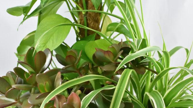 Ménage-à-trois aus den Zimmerpflanzen Efeutute (Epipremnum), Geldbaum (Crassula ovata) und Grünlilie (Chlorophythum).