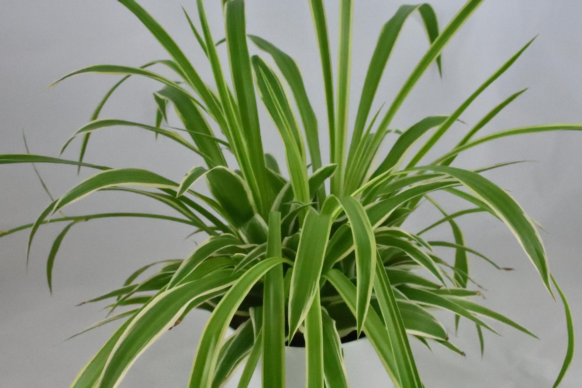 Eine Grünlilie (Chlorophytum) als Zimmerpflanze mit seitlich weiß gezeichneten Blättern.