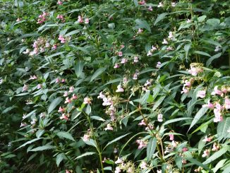 Springkraut (Impatiens glandulifera) wächst am Ufer eines kleinen Baches.