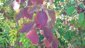 Durch Anthocyane rot gefärbte Blätter.