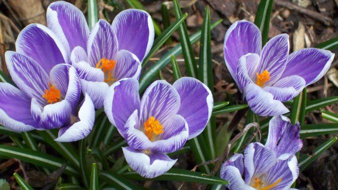 Krokusse - die typischen Frühlingsblüher setzen farbige Akzente.