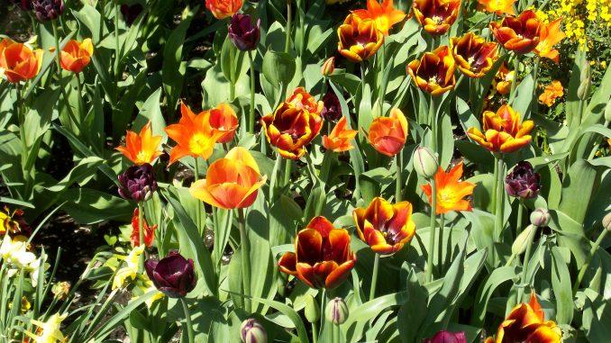 So schön blüht der Frühling: Ein Blumenbeet aus orange/roten Tulpen ist ein echter Blickfang.