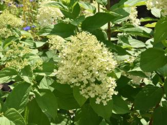 Hortensien - die beliebten Gartenpflanzen brauchen nur wenig Pflege und blühen den ganzen Sommer lang.