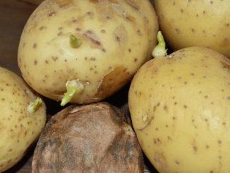 Solanin und Schimmelpilzgifte können den Appetit auf Kartoffeln ganz schön verderben !