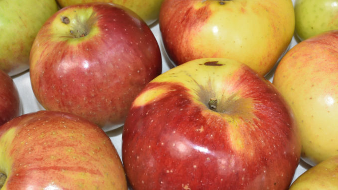 Auch wenn Äpfel aus dem eigenen Garten selten perfekt aussehen - gesund sind sie in jedem Fall!