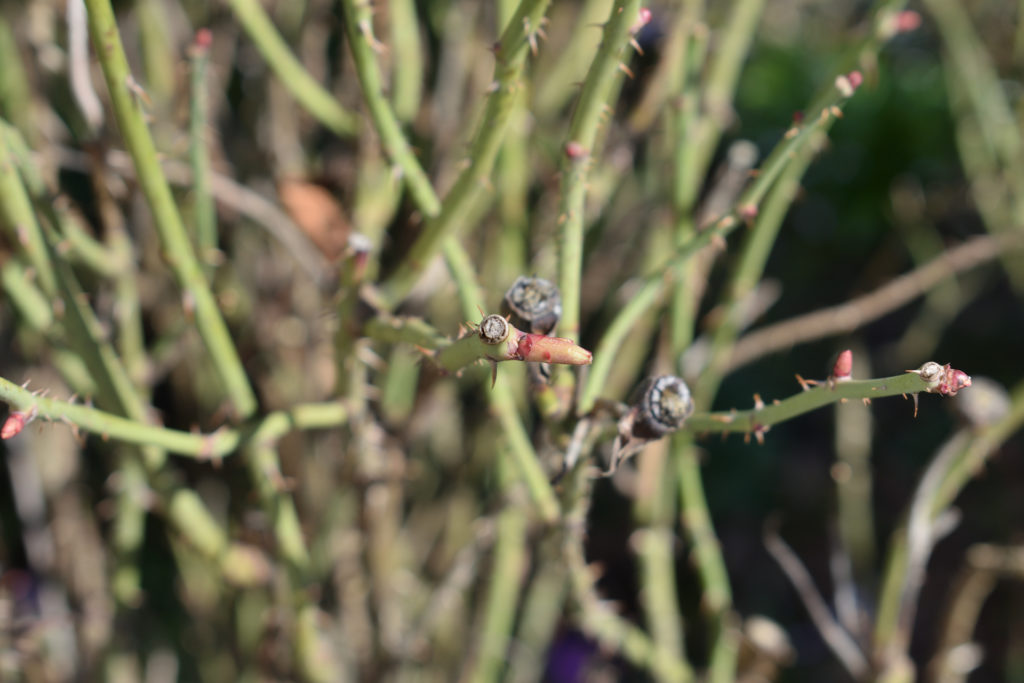 Austrieb einer Gartenrose (Rose de Resht) | Auch bei den Rosen zeigen sich bereits die ersten Ansätze neuer Blätter. Ein klares Zeichen: Der Frühling ist da!