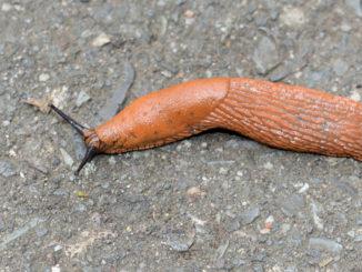 Kleine Schnecke, große Wirkung - bereits ein einzelnes Tierchen kann im heimischen Gemüsebeet eine Schneise der Verwüstung hinterlassen...