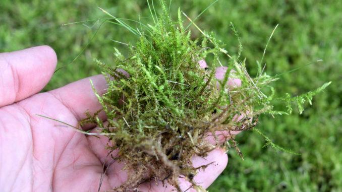Moose sind robuste, anpassungsfähige Pflanzen - die allerdings nicht jeder in seinem Garten leiden mag. Ohne Moos wär im Rasen zwar nix los, dafür könnten besonders aufmerksame Gärtner dafür das Gras wachsen hören.